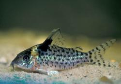 Corydoras(ln8sc4) ambiacus - Click for species data page