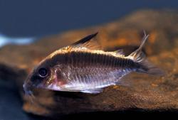 Corydoras(ln8sc4) arcuatus - Click for species data page