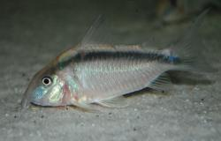 Corydoras(ln8sc4) arcuatus