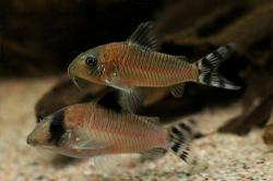 Corydoras(ln8sc4) condiscipulus - Click for species data page