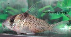 Corydoras(ln8sc4) crimmeni - Click for species data page