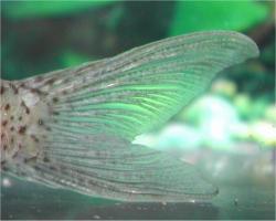 Corydoras(ln8sc4) crimmeni