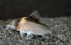 Corydoras(ln8sc4) crypticus - Click for species data page