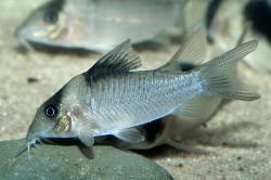 Corydoras(ln8sc4) crypticus