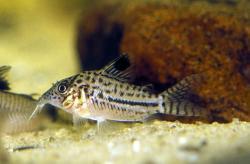 Corydoras(ln8sc4) gomezi - Click for species data page