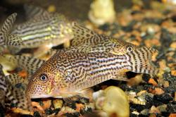 Corydoras(ln8sc4) haraldschultzi - Click for species data page