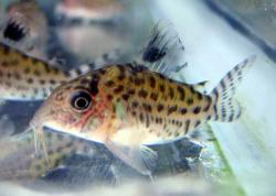 Corydoras(ln8sc4) lamberti - Click for species data page