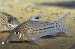 Corydoras(ln8sc4) leopardus - Click for species data page