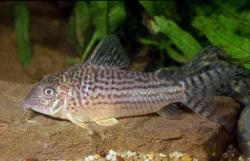 Corydoras(ln8sc4) noelkempffi - Click for species data page