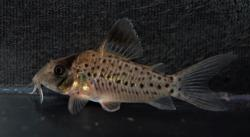 Corydoras(ln8sc4) orphnopterus - Click for species data page