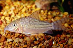 Corydoras(ln8sc4) pinheiroi - Click for species data page
