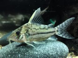 Corydoras(ln8sc4) pulcher - Click for species data page