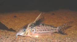 Corydoras(ln8sc4) robustus