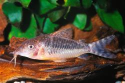 Corydoras(ln8sc4) seussi - Click for species data page