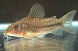 Corydoras(ln8sc4) sp. `PRICILLA` - Click for species page