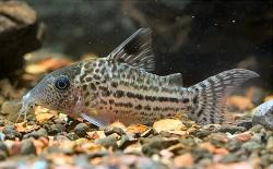 Corydoras(ln8sc4) sp. (C018) - Click for species data page