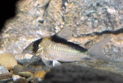 Corydoras(ln8sc4) sp. (C039) - Click for species data page