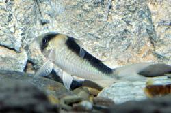 Corydoras(ln8sc4) sp. (C039)