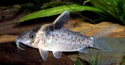 Corydoras(ln8sc4) sp. (C049) - Click for species data page