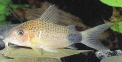 Corydoras(ln8sc4) sp. (C066) - Click for species data page