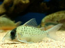 Corydoras(ln8sc4) sp. (C097) - Click for species data page