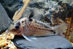 Corydoras(ln8sc4) sp. (C098) - Click for species data page