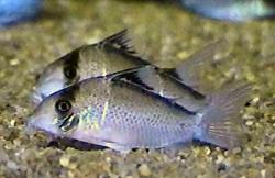 Corydoras(ln8sc4) sp. (C101) - Click for species data page