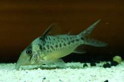 Corydoras(ln8sc4) sp. (C103) - Click for species data page