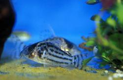 Corydoras(ln8sc4) sp. (C110) - Click for species data page