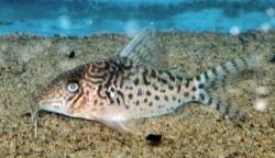 Corydoras(ln8sc4) sp. (C117) - Click for species data page