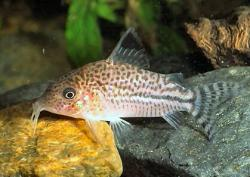 Corydoras(ln8sc4) sp. (C128) - Click for species data page