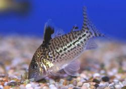 Corydoras(ln8sc4) sp. (C131) - Click for species data page