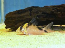 Corydoras(ln8sc4) sp. (C138) - Click for species data page