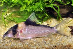 Corydoras(ln8sc4) sp. (C140) - Click for species data page