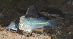 Corydoras(ln8sc4) sp. (C140)
