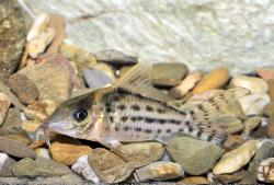 Corydoras(ln8sc4) sp. (C156) - Click for species data page