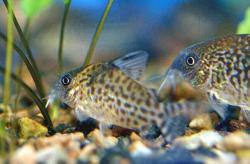 Corydoras(ln8sc4) sp. (C157) - Click for species data page