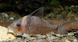 Corydoras(ln8sc4) sp. (Cw057) - Click for species data page