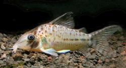 Corydoras(ln8sc4) sp. (Cw058) - Click for species data page