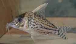 Corydoras(ln8sc4) sp. (Cw065) - Click for species data page
