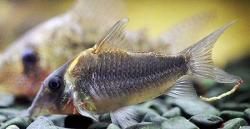 Corydoras(ln8sc4) sp. (Cw101) - Click for species data page