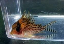Corydoras(ln8sc4) sp. (Cw113) - Click for species data page