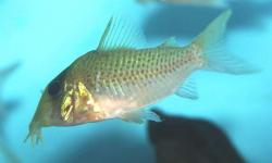 Corydoras(ln8sc4) sp. (Cw138) - Click for species data page