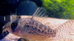 Corydoras(ln8sc4) sp. (Cw155) - Click for species data page