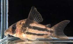 Corydoras(ln8sc4) sp. (Cw160) - Click for species data page