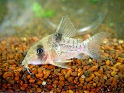 Corydoras(ln8sc4) sp. (Cw167) - Click for species data page
