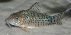 Corydoras(ln8sc4) spectabilis - Click for species data page
