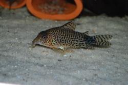 Corydoras(ln8sc4) spectabilis