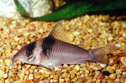 Corydoras(ln8sc4) virginiae - Click for species data page