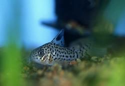 Corydoras(ln9) acrensis - Click for species page